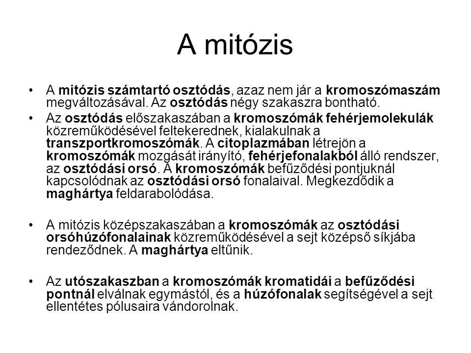 A mitózis A mitózis számtartó osztódás, azaz nem jár a kromoszómaszám megváltozásával. Az osztódás négy szakaszra bontható.