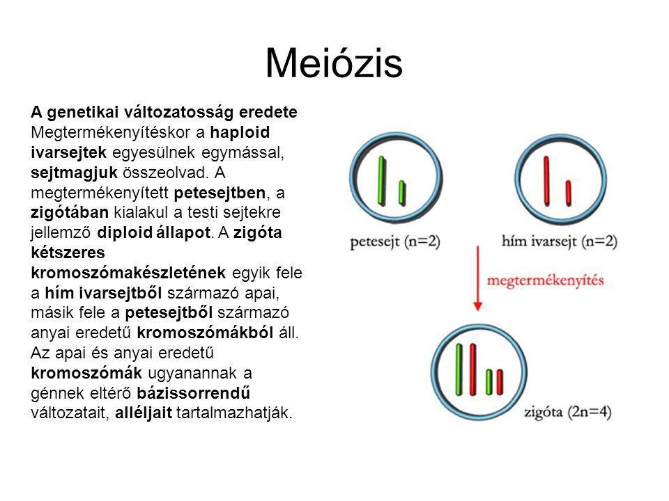 Meiózis A genetikai változatosság eredete