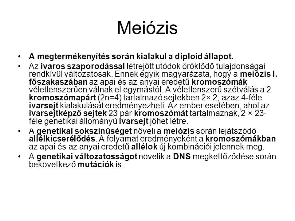 Meiózis A megtermékenyítés során kialakul a diploid állapot.