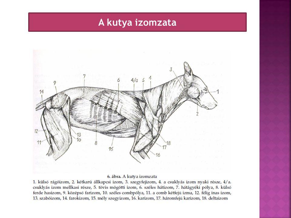 A kutya izomzata