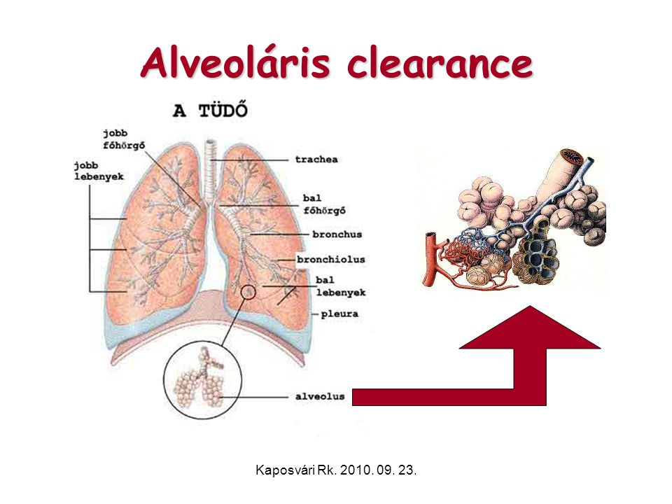 Alveoláris clearance Kaposvári Rk. 2010. 09. 23.