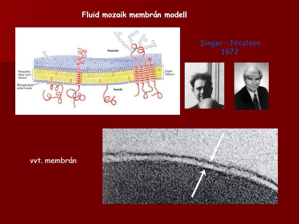 Fluid mozaik membrán modell