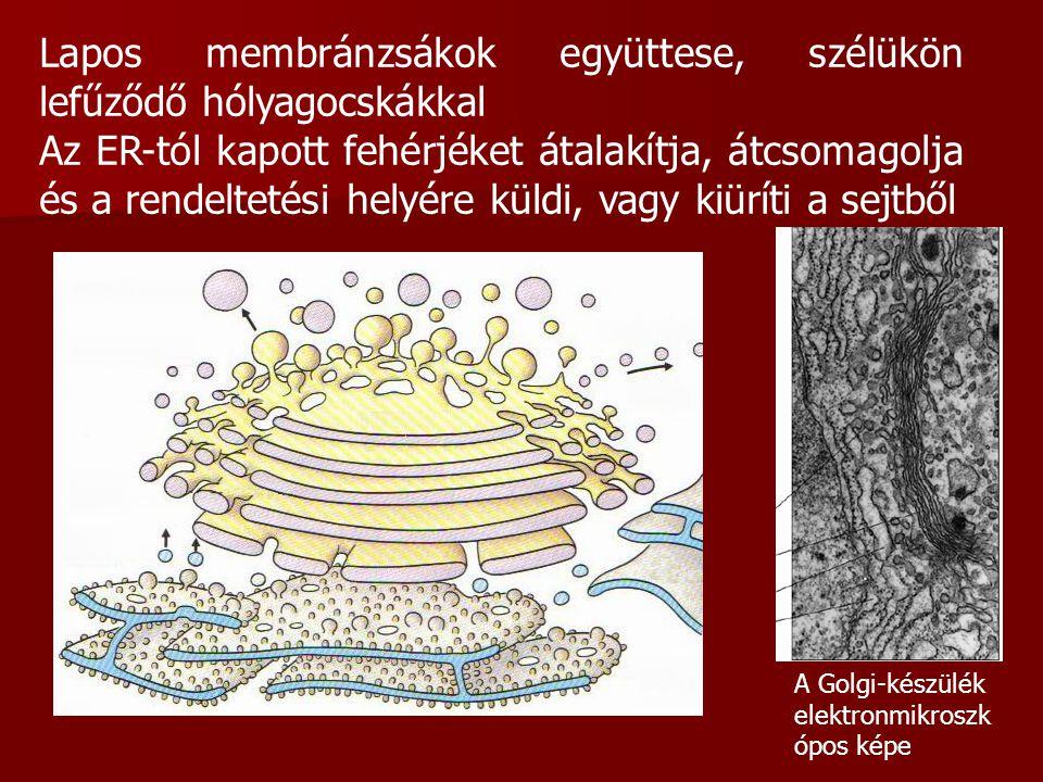 Lapos membránzsákok együttese, szélükön lefűződő hólyagocskákkal