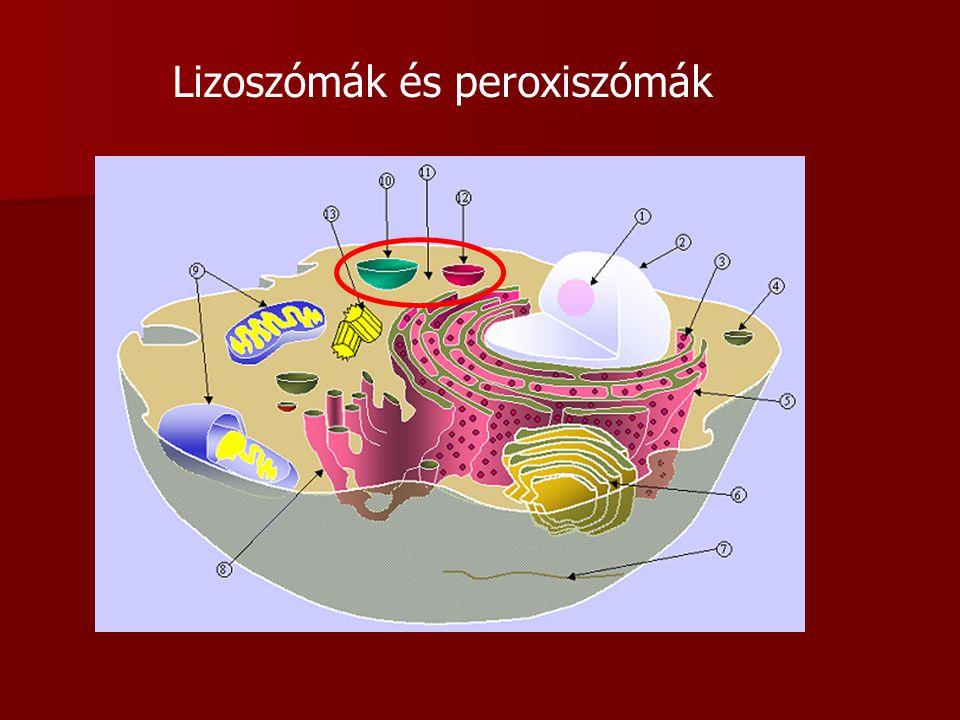 Lizoszómák és peroxiszómák