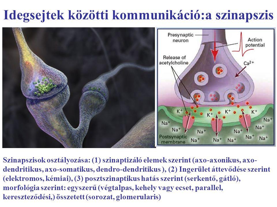 Idegsejtek közötti kommunikáció:a szinapszis