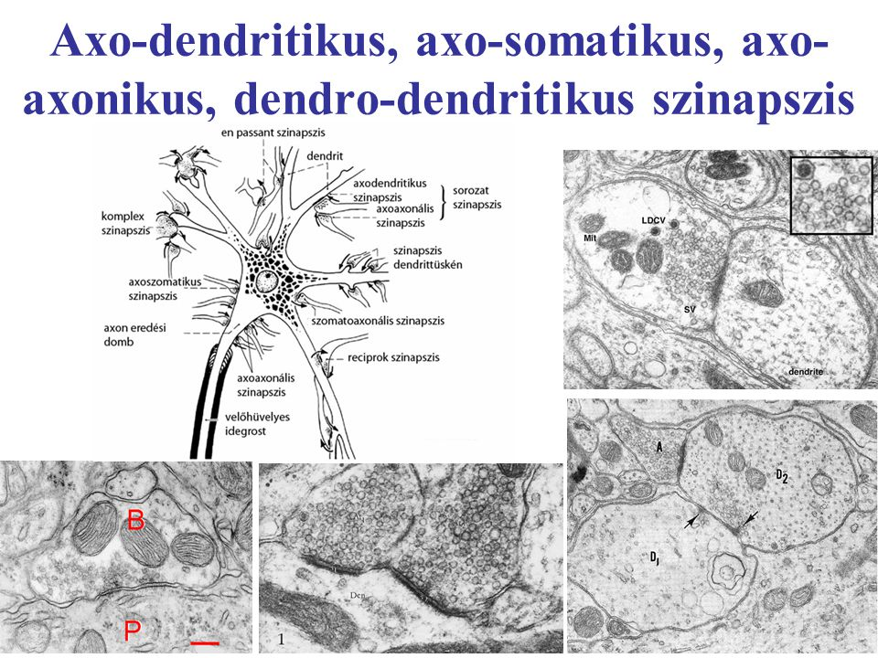 Axo-dendritikus, axo-somatikus, axo-axonikus, dendro-dendritikus szinapszis