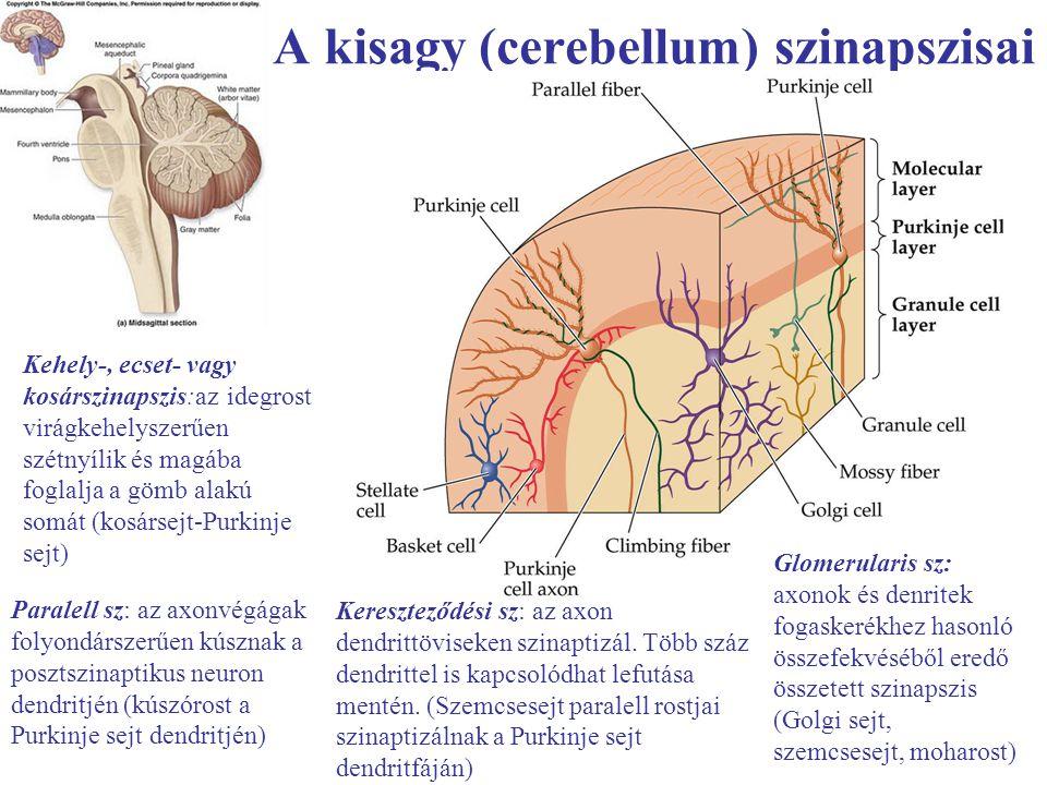 A kisagy (cerebellum) szinapszisai