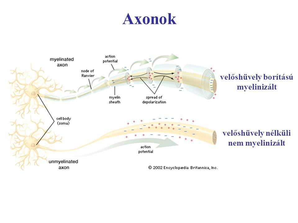 velőshüvely borítású myelinizált velőshüvely nélküli nem myelinizált