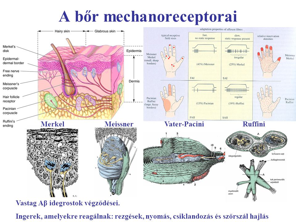 A bőr mechanoreceptorai