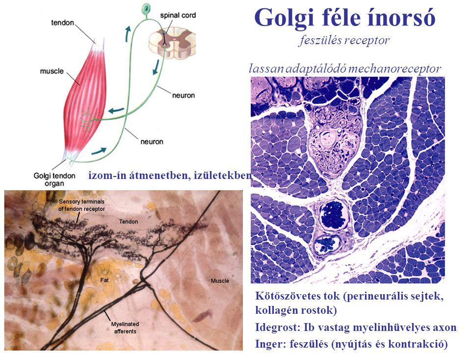 Golgi féle ínorsó feszülés receptor lassan adaptálódó mechanoreceptor