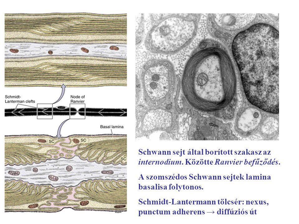 Schwann sejt által borított szakasz az internodium