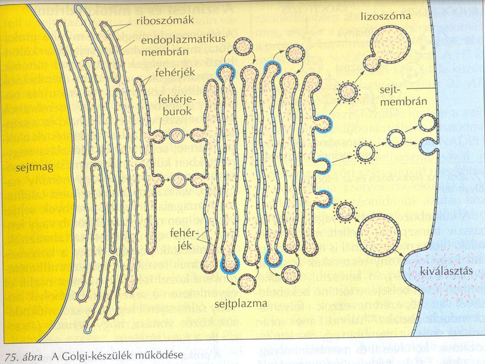 A Golgi apparátus működése