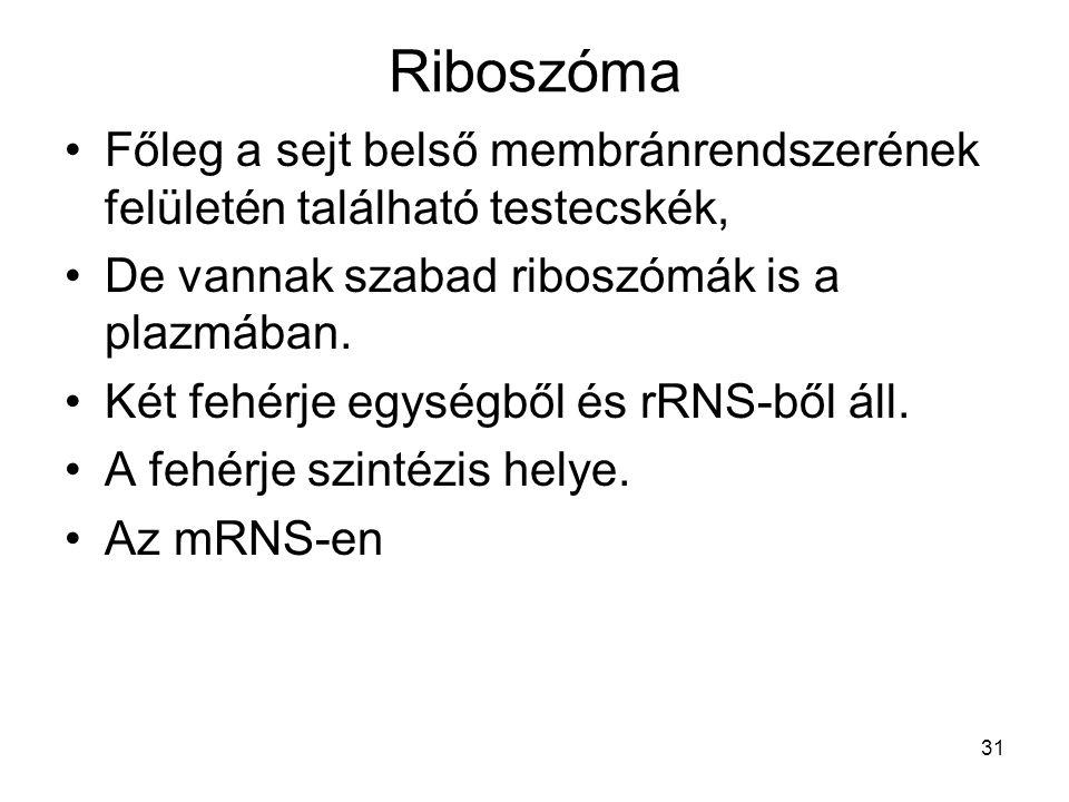 Riboszóma Főleg a sejt belső membránrendszerének felületén található testecskék, De vannak szabad riboszómák is a plazmában.