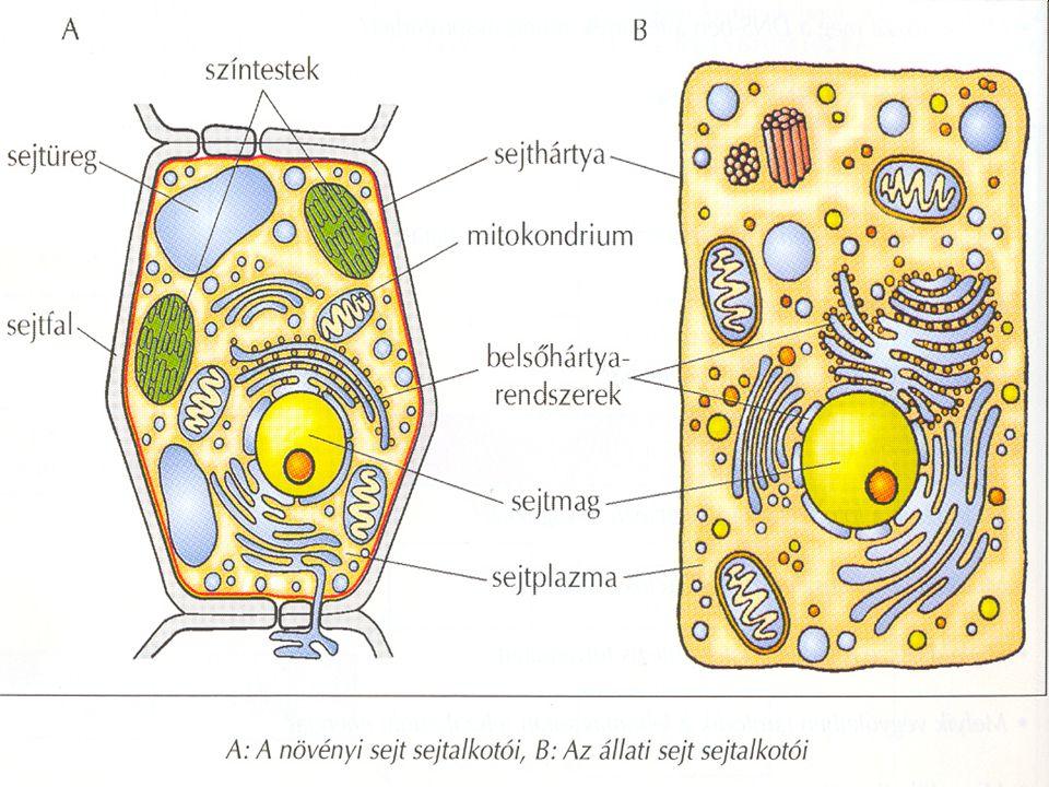 Állati és növényi sejt