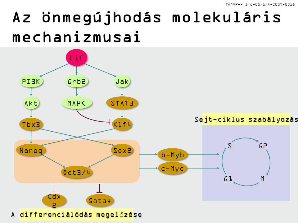 Az önmegújhodás molekuláris mechanizmusai