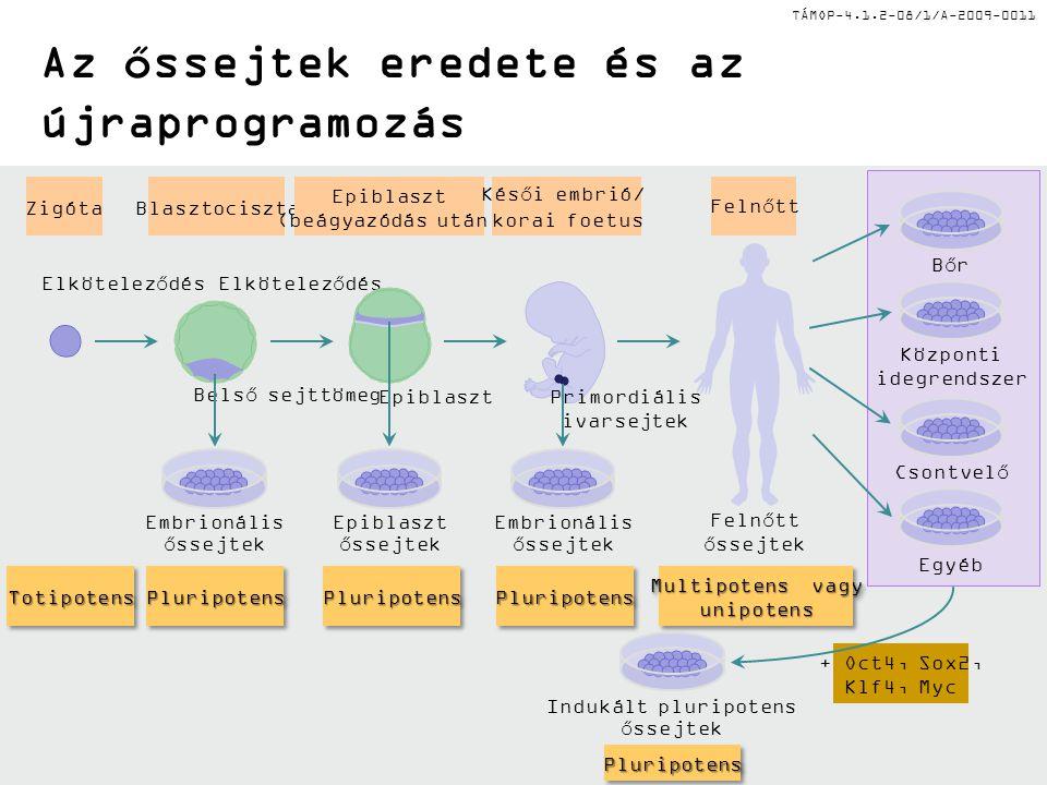 Az őssejtek eredete és az újraprogramozás