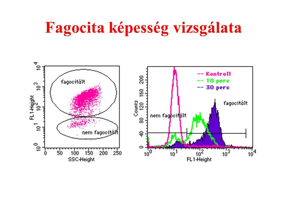 Fagocita képesség vizsgálata