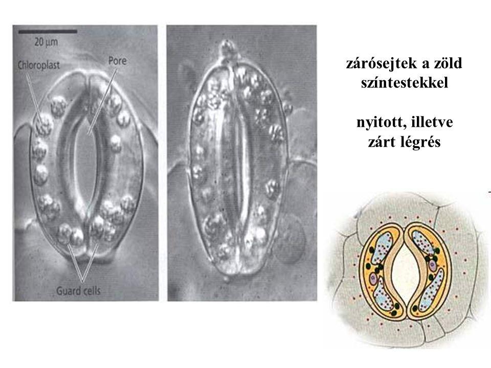 zárósejtek a zöld színtestekkel nyitott, illetve zárt légrés