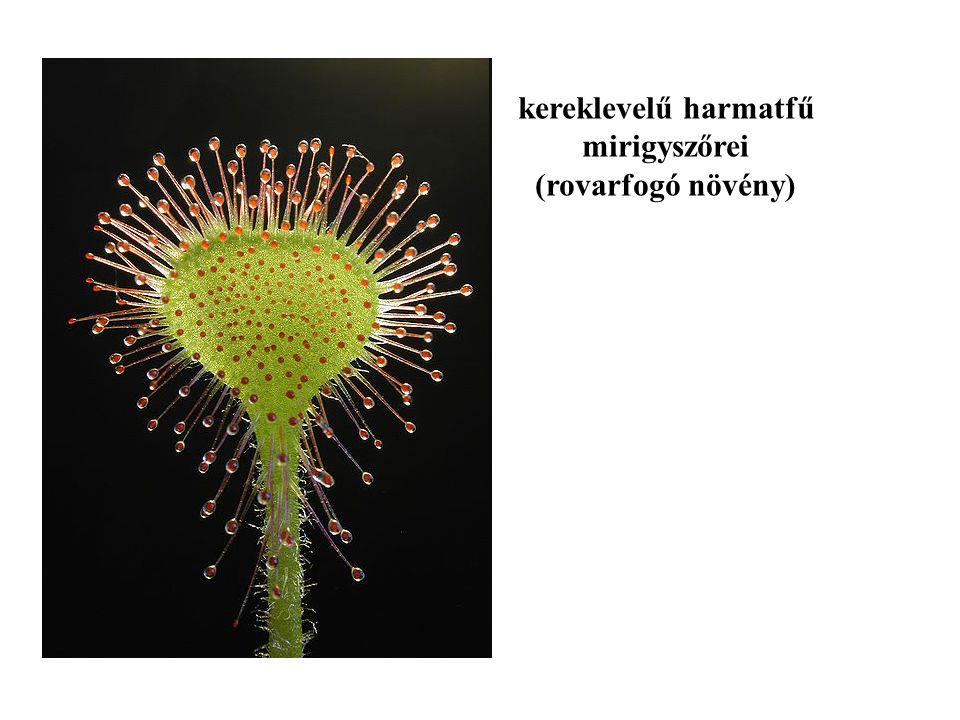 kereklevelű harmatfű mirigyszőrei (rovarfogó növény)