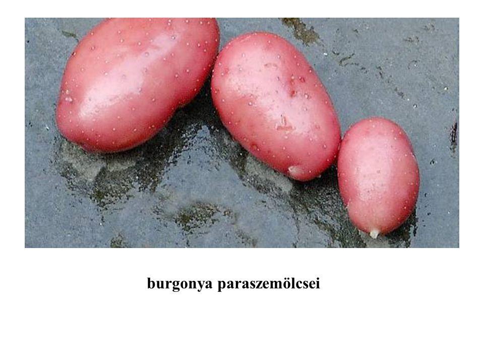 burgonya paraszemölcsei