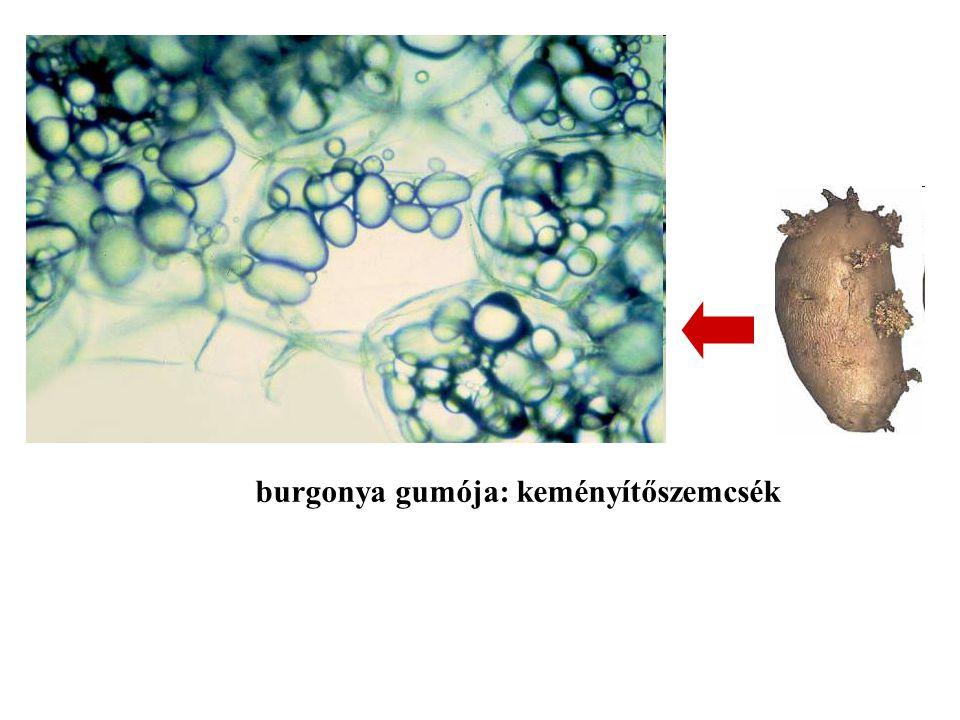 burgonya gumója: keményítőszemcsék