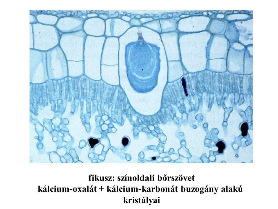 fikusz: színoldali bőrszövet