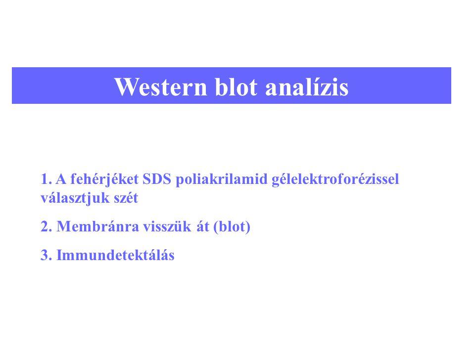 Western blot analízis 1. A fehérjéket SDS poliakrilamid gélelektroforézissel választjuk szét. 2. Membránra visszük át (blot)