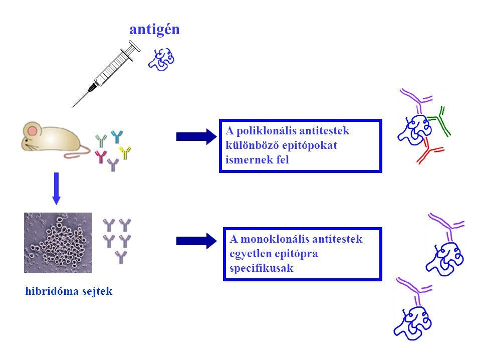 antigén A poliklonális antitestek különböző epitópokat ismernek fel