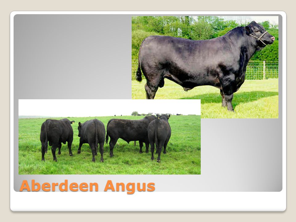 Aberdeen Angus