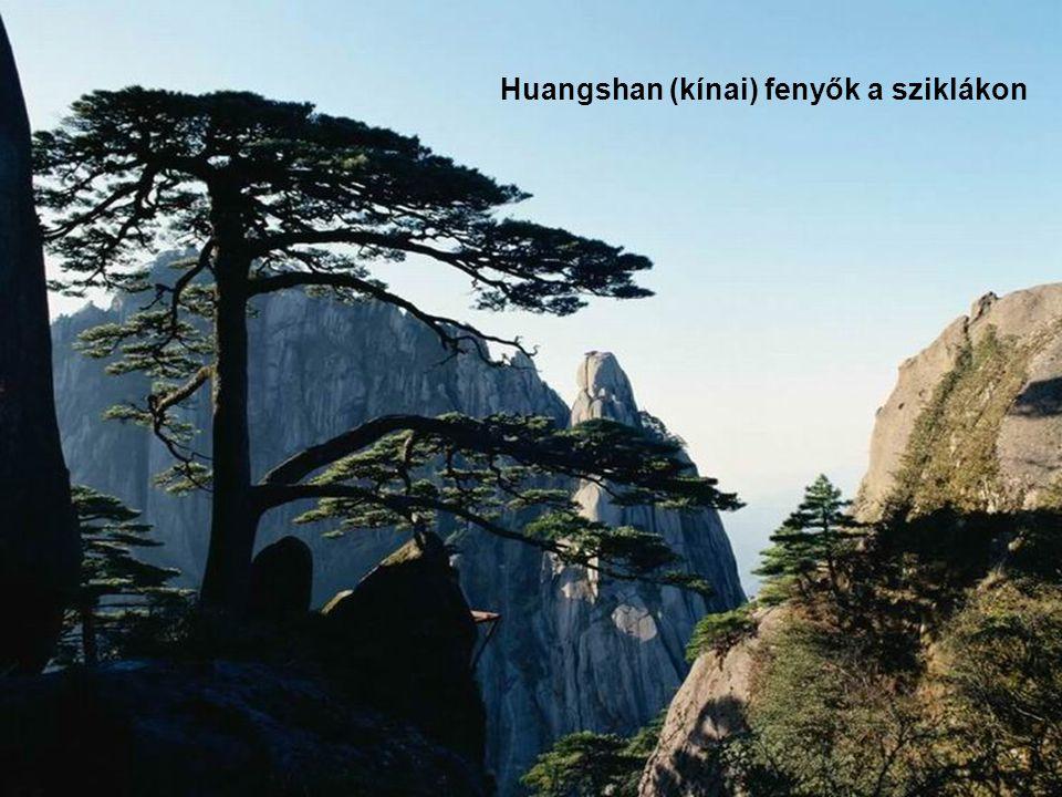Huangshan (kínai) fenyők a sziklákon