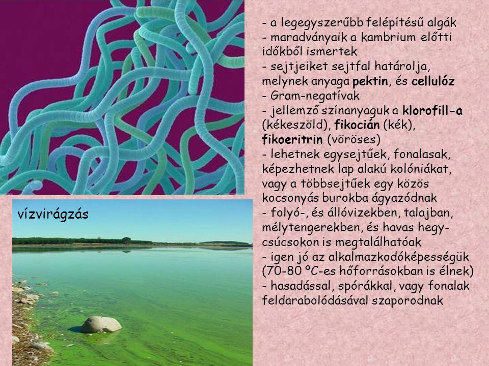 vízvirágzás - a legegyszerűbb felépítésű algák