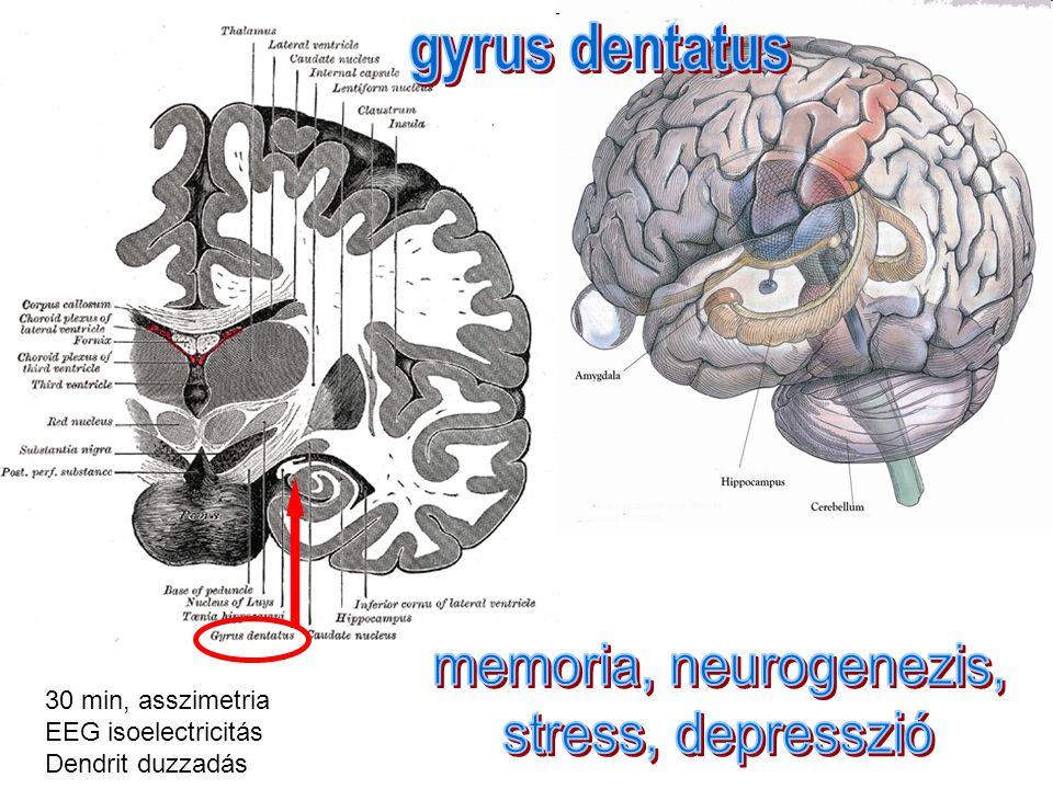 gyrus dentatus memoria, neurogenezis, stress, depresszió