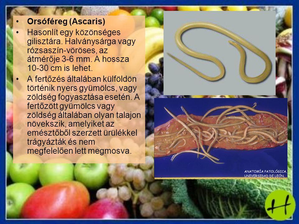 Orsóféreg (Ascaris) Hasonlít egy közönséges gilisztára. Halványsárga vagy rózsaszín-vöröses, az átmérője 3-6 mm. A hossza 10-30 cm is lehet.