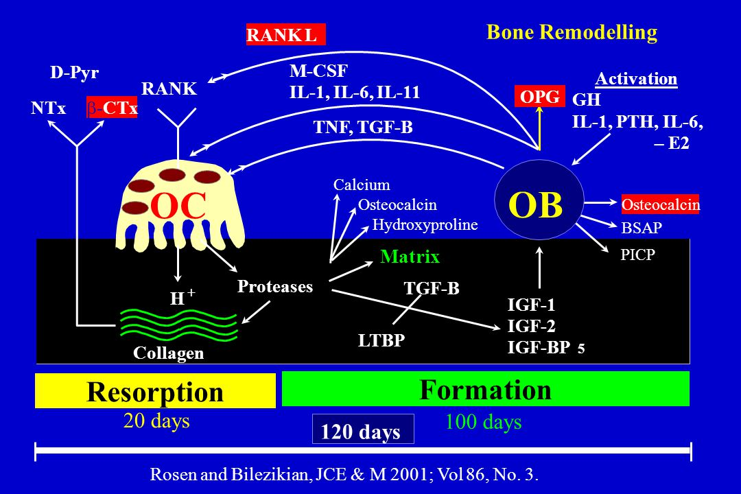 OC OB Resorption Formation Bone Remodelling 20 days 100 days 120 days