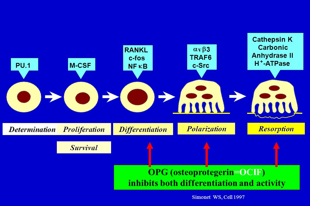 OPG (osteoprotegerin=OCIF) inhibits both differentiation and activity