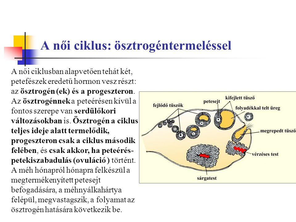 A női ciklus: ösztrogéntermeléssel