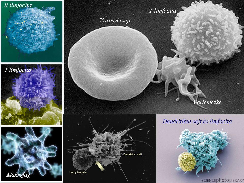 Dendritikus sejt és limfocita