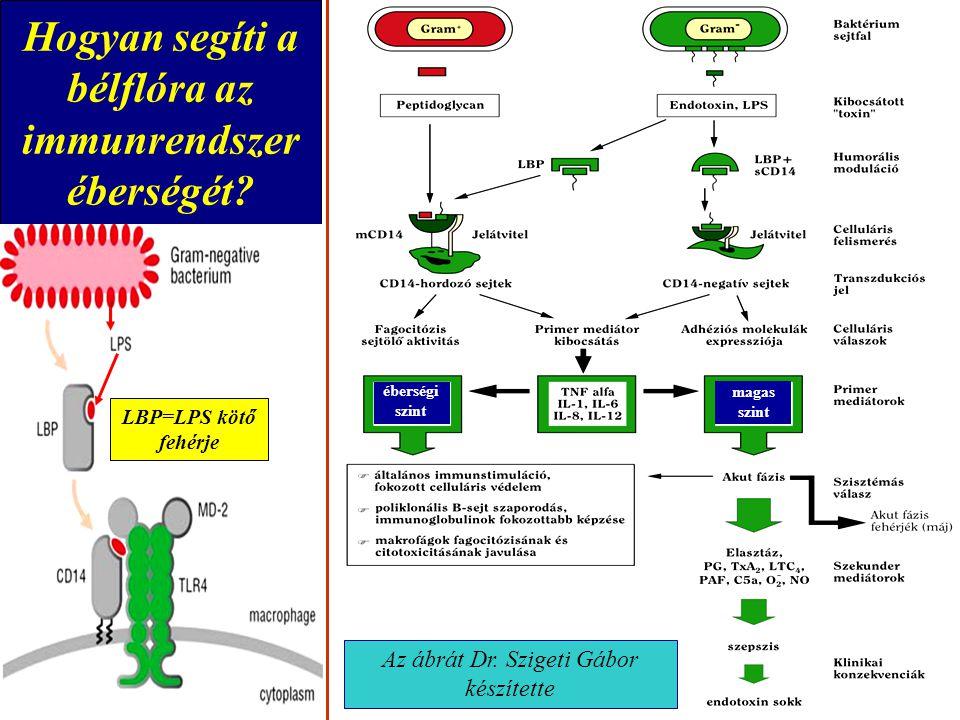 Hogyan segíti a bélflóra az immunrendszer éberségét