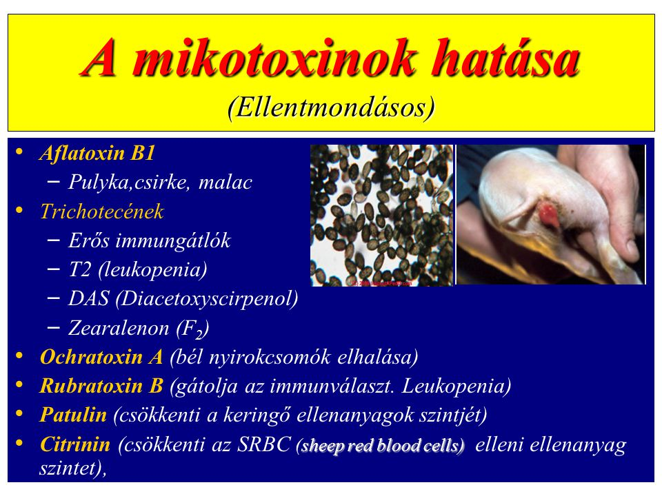A mikotoxinok hatása (Ellentmondásos)