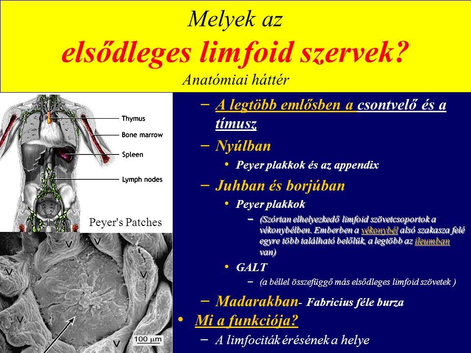 Melyek az elsődleges limfoid szervek Anatómiai háttér