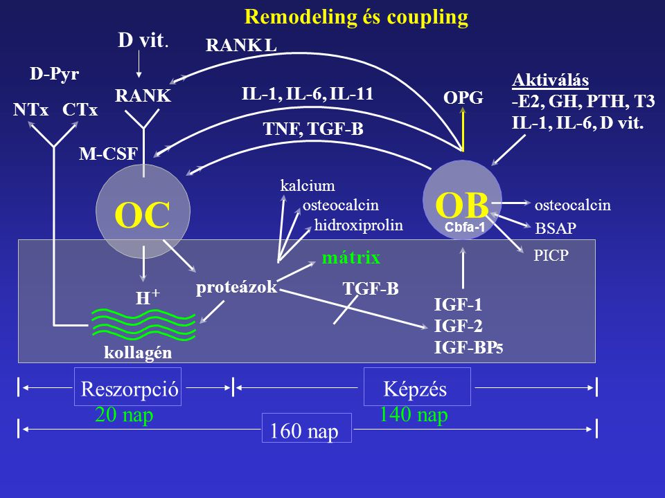 OB OC Reszorpció 20 nap 140 nap 160 nap Remodeling és coupling Képzés