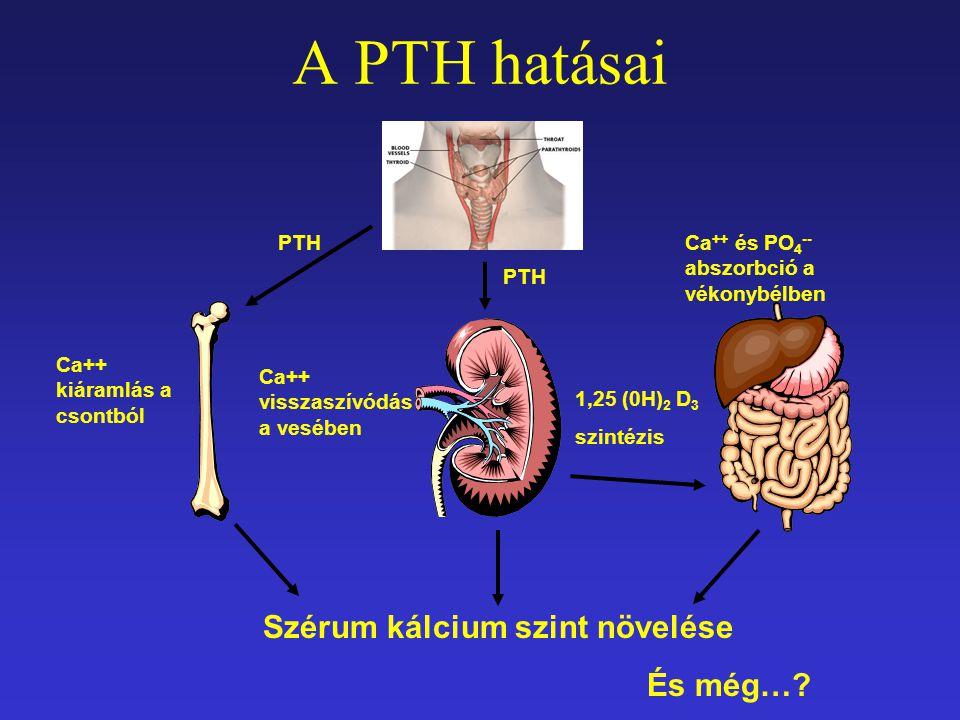 A PTH hatásai Szérum kálcium szint növelése És még… PTH