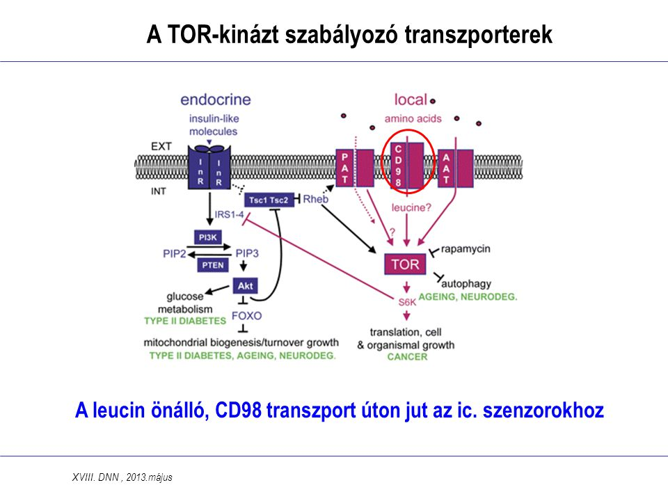 A TOR-kinázt szabályozó transzporterek