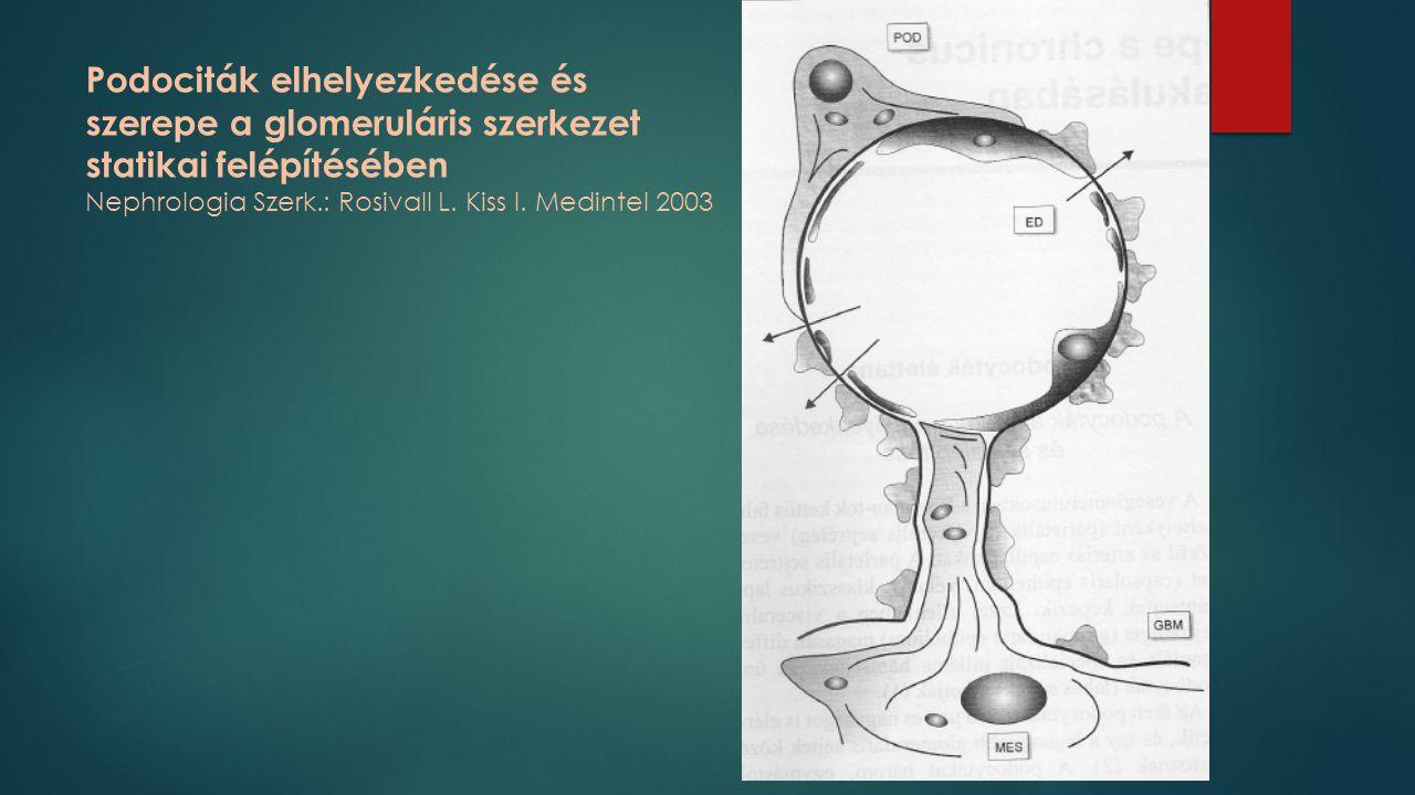 Podociták elhelyezkedése és szerepe a glomeruláris szerkezet statikai felépítésében Nephrologia Szerk.: Rosivall L.