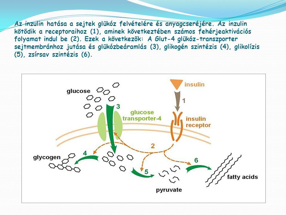Az inzulin hatása a sejtek glükóz felvételére és anyagcseréjére