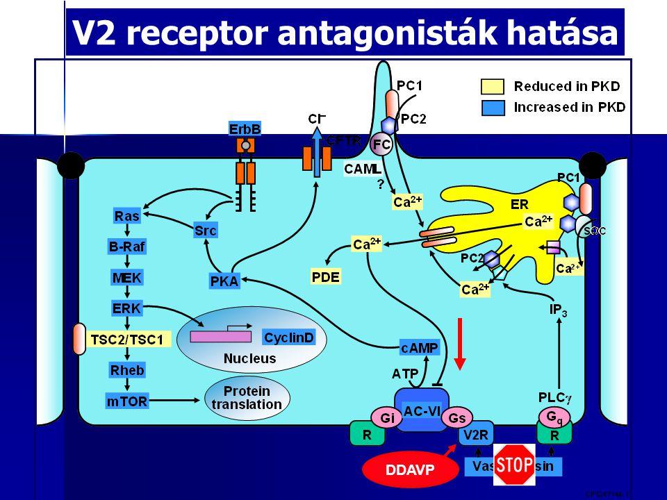 V2 receptor antagonisták hatása