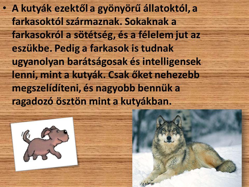 A kutyák ezektől a gyönyörű állatoktól, a farkasoktól származnak