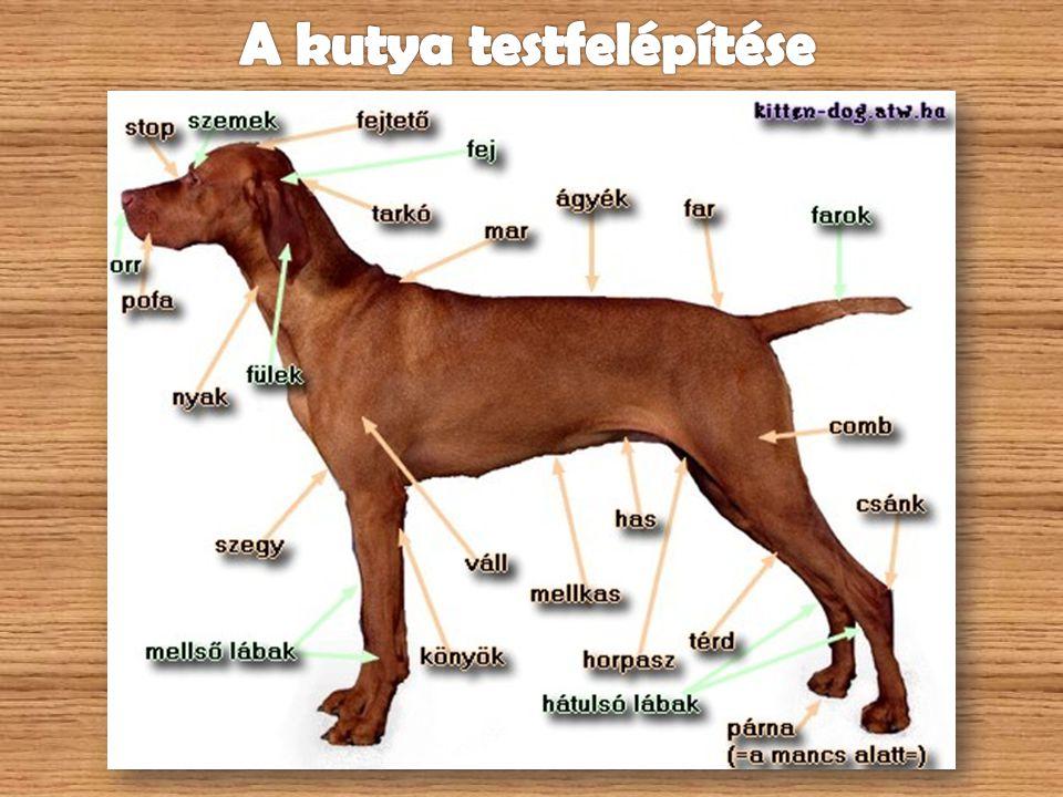 A kutya testfelépítése