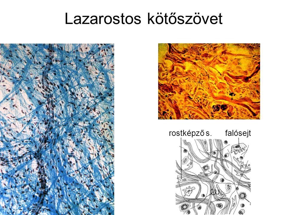 Lazarostos kötőszövet