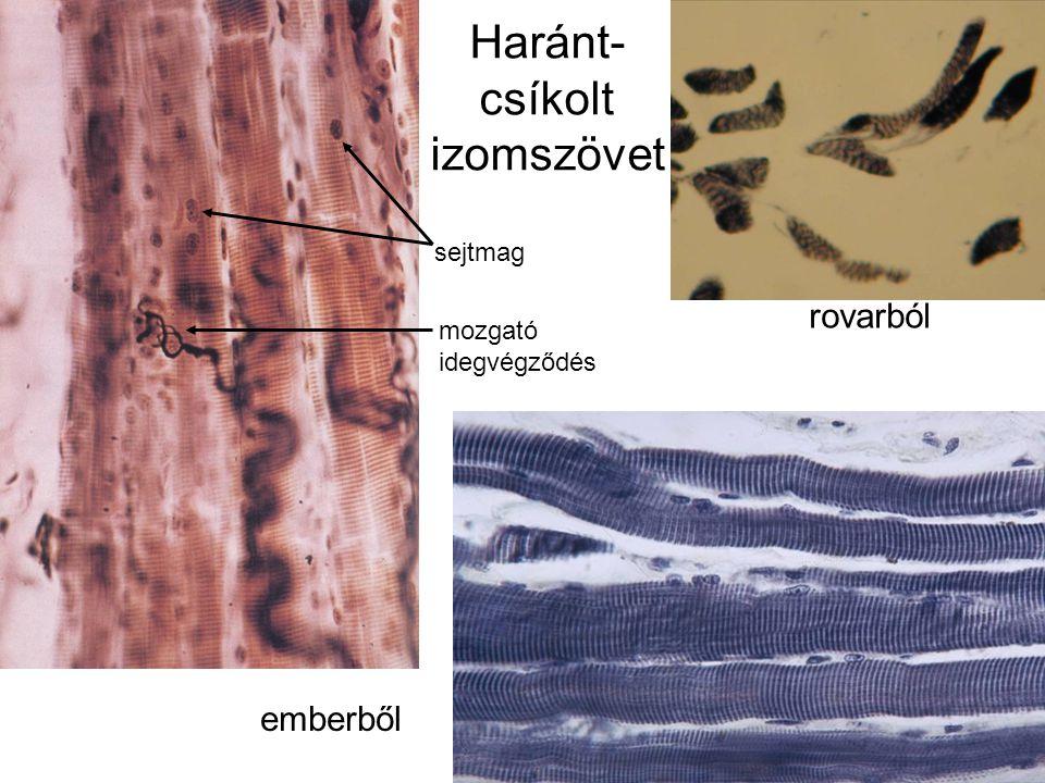 Haránt-csíkolt izomszövet